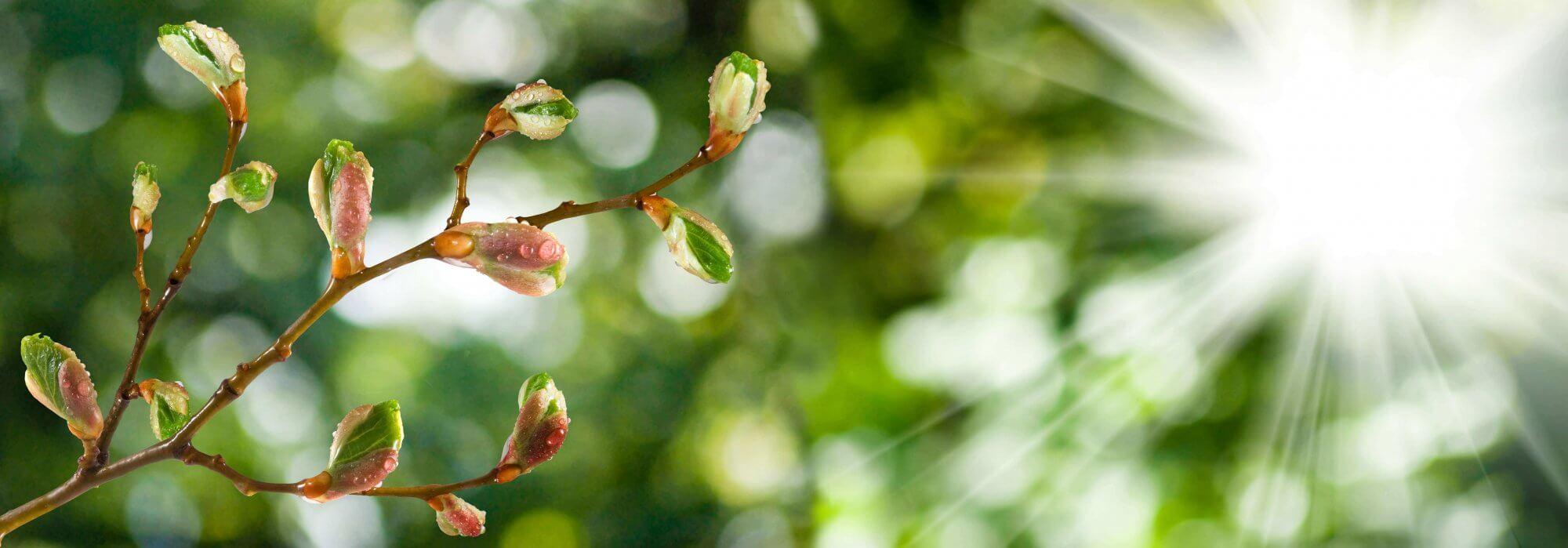 bourgeon de cassis, remède contre les douleurs articulaires